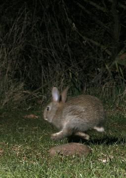 Young rabbit on the run 15 Mar 2004 05:20