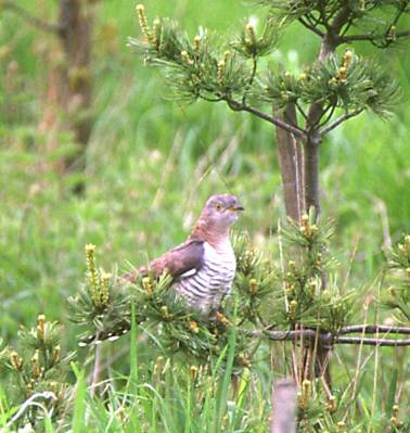 Cuckoo in Young Conifer