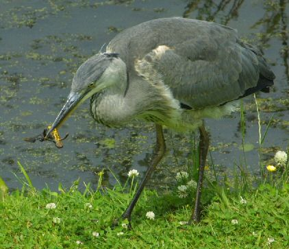 heron eating Great Crested Newt
