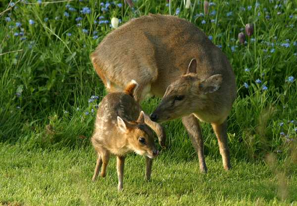 Muntjac Deer and Fawn