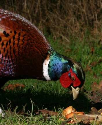 pheasant male iridescence