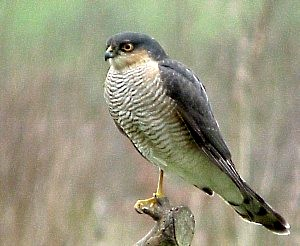 SparrowHawk on Post