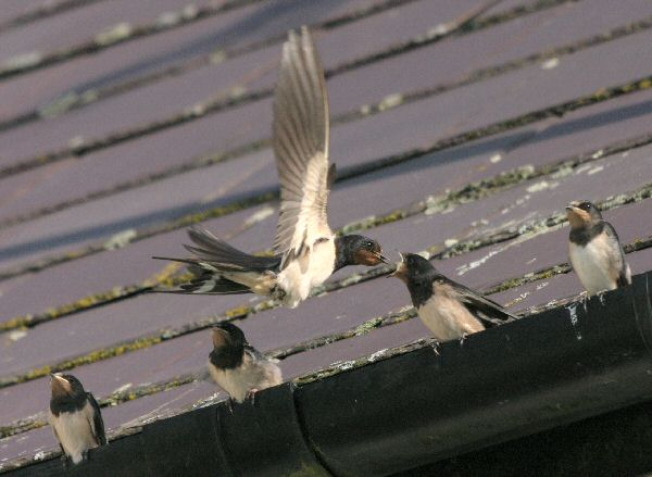 Swallow feeding young on gutter
